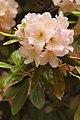 Rhododendron 'Skyglow' Flower.jpg