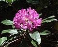 Rhododendron Flower - geograph.org.uk - 178132.jpg