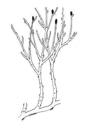 Rhyniopsida - Image: Rhynia reconstruction