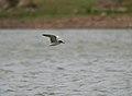 River Tern (Sterna aurantia)- Non-breeding at Hyderabad, AP W IMG 7481.jpg