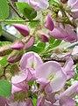 Robinia-hispida2.jpg