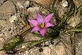 Romulea rosea 1DS-II 3-5927.jpg