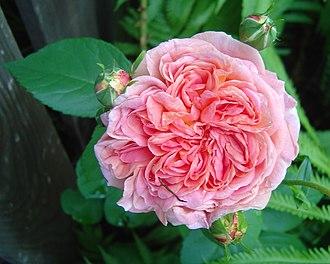 W. Kordes' Söhne - Image: Rosa 'Alchymist'