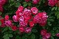 Rosa 'Angela' at Ishida Rose Garden in Odate, Akita, Japan.jpg
