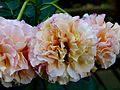 Rosa 'Augusta Luise' 2.jpg