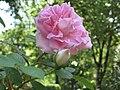 Rosa 'Conrad Ferdinand Meyer'.JPG
