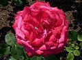 Rosa 'Dame de Coeur' J1.jpg