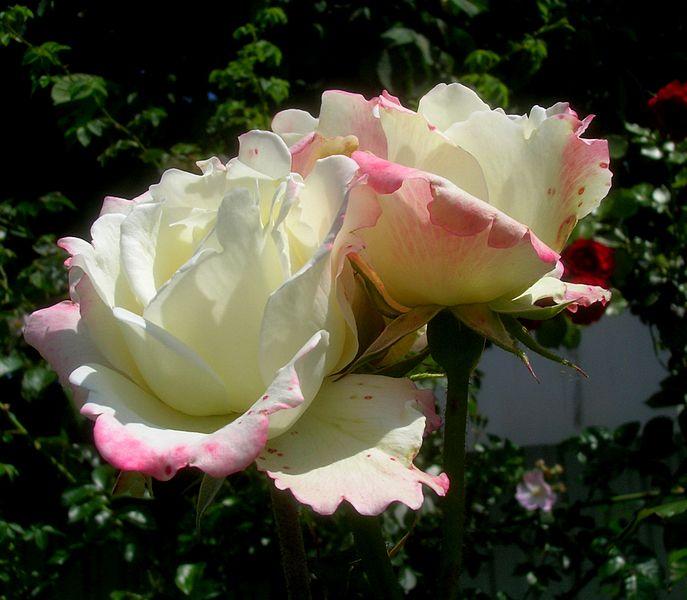 File:Rosa Athena.jpg
