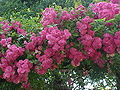 Rosa sp.191.jpg