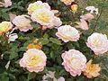 Rosa sp.248.jpg