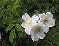 Rosa tomentosa inflorescence (01).jpg