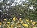 Rosales - Malus domestica - 19.jpg