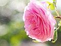 Rose, La Lisette de Béranger, リゼット ドゥ ベランジェ, (14448301816).jpg