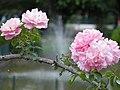 Rose (Rosa) (10-1).jpg