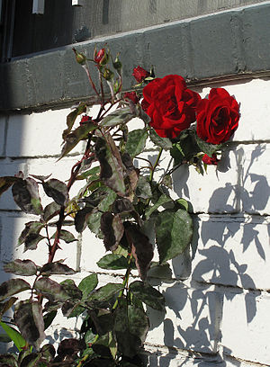 English: Dark red roses