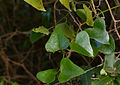 Rough Bindweed (Smilax aspera) leaves (15913881092).jpg