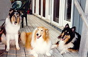 Three different Collie colours (from left to right): blue merle, pale sable and black tricolour