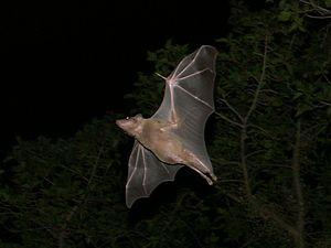 Egyptian fruit bat - An Egyptian fruit bat in flight in Tel Aviv, Israel