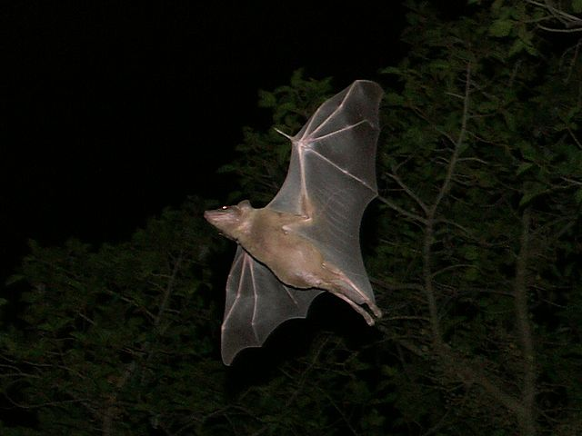 Netopiere sú výhradne nočné živočíchy