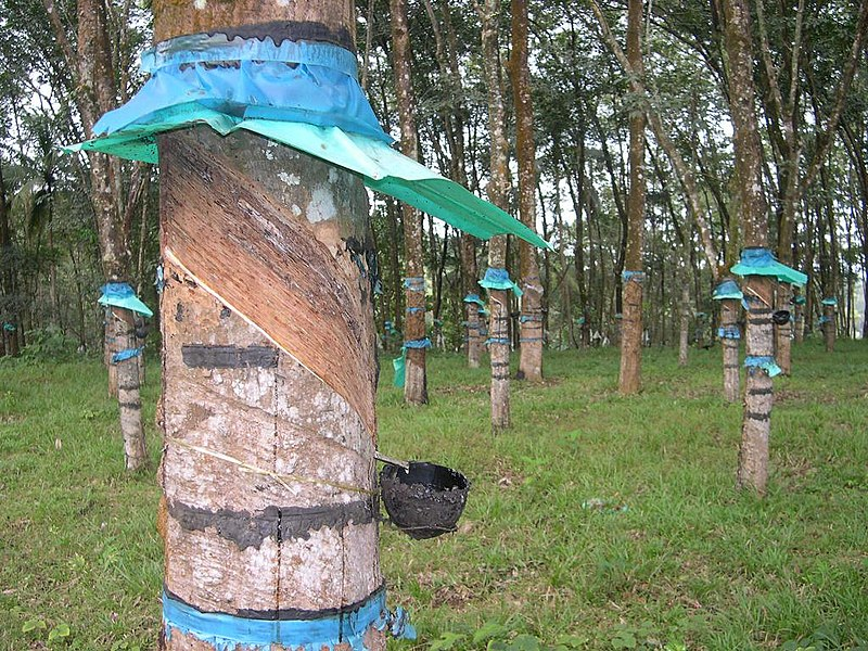 File:Rubber tapping.jpg