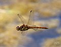 Rubbish photo of Dragonfly flying past 1 (6001606549).jpg
