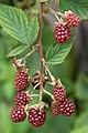 Rubus canadensis perrons black.jpg