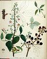 Rubus discolor — Flora Batava — Volume v19.jpg