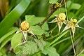 Rubus hirsutus 06.jpg