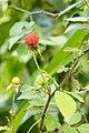 Rubus hirsutus 07.jpg
