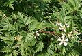 Rubus laciniatus 07.jpg
