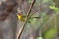 Rufous-capped Warbler (Basileuterus rufifrons delattrii) (5783245879).jpg