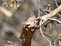 Rufous-crowned Sparrow Leslie Canyon NWR Douglas AZ 2017-11-24 12-37-02 (39042927932).jpg