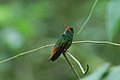 Rufous-tailed Hummingbird 2015-06-06 (2) (40265395122).jpg