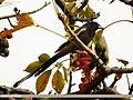 Rufous Treepie (Dendrocitta vagabunda) (15707628007).jpg