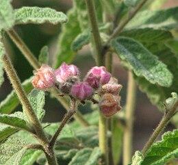 Rulingia magniflora
