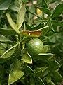 Ruscus aculeatus young fruit.JPG