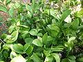 Ruscus hypophyllum - Missouri Botanical Garden - 1.jpg