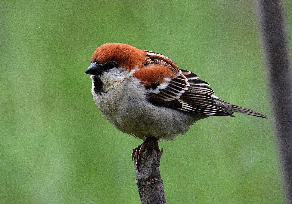 Russet's Sparrow Passer rutilans Male by Dr. Raju Kasambe DSC 3973 (18)
