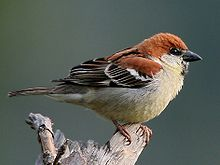 A plump sparrow with a thick beak, and feathers mostly coloured russet above and cream below, perching on a stump