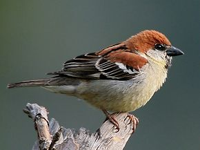 [Jeu] Suite d'images !  - Page 5 290px-Russet_Sparrow_%28Male%29_I_IMG_6779-crop