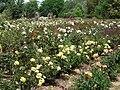 Ruston's Rose garden 10.JPG