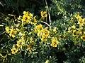 Ruta chalepensis (plant).jpg