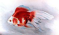 Ryukin goldfish plate.jpg