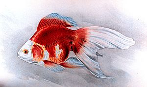 Goldfish - Ryukin goldfish, Plate XIX in: Goldfish and Their Culture in Japan, by Shinnosuke Matsubara.