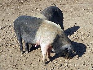 British Saddleback - Image: Saddleback pigs (8125345518)