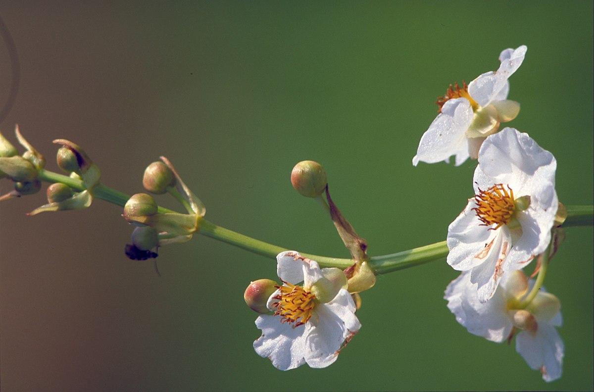 Sagittaria lancifolia Wikipedia