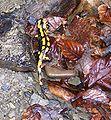 Salamandra salamandra 6607b.JPG
