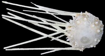 Salenocidaris hastigera