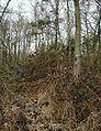 Salix-caprea-pioneer.JPG