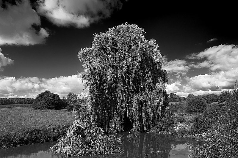 File:Salix alba 4 seasons Autum HaJN 6777 bw.jpg